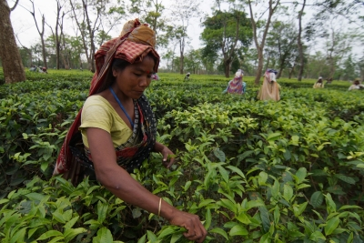 Commerce Ministry to tweak guidelines for future orientation of Tea Board