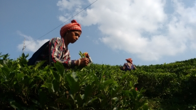 After disastrous 2017, Darjeeling tea planters hope for a better season (Business Feature)
