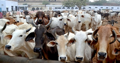 NSA, Gangster Act to be invoked against cow slaughter in UP