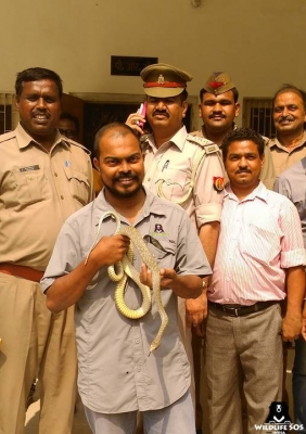Rat snake caught in police officer s residence