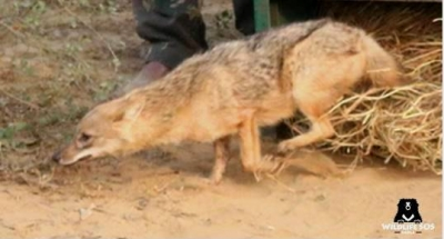 Jackal rescued from house in Agra