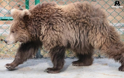 Himalayan littering leading to brown-bear habit changes (Environmental Feature)