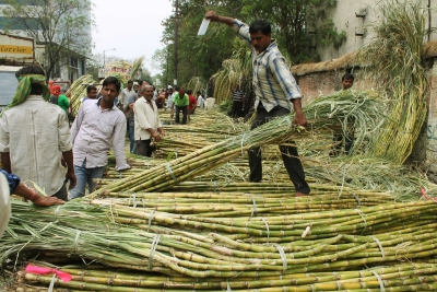 Sugar output up by 8% till mid-January (Lead, Correcting headline)