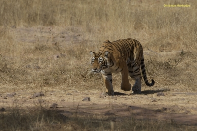 Now, Ranthambore's Machali inspires a book on human survival (IANS Interview)