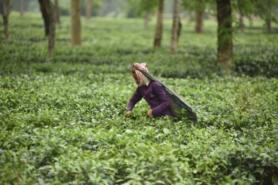 India s tea production down 4% in June