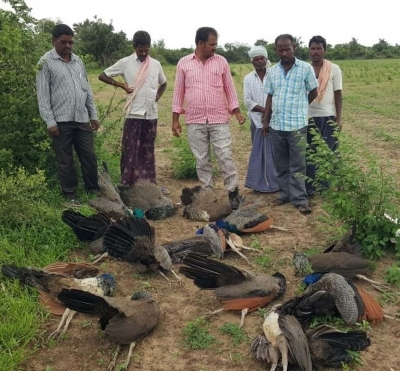9 peacocks found dead in Rajasthan