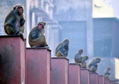 """Leave them alone and they will leave you alone"": Lok Sabha's advisory on monkey menace"