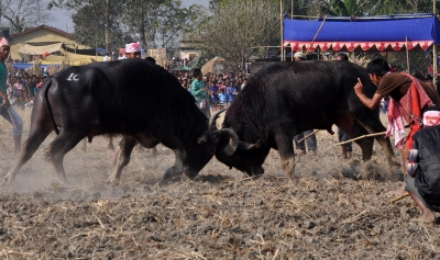 Despite ban, Assam district witnesses Buffalo fights as part of Bihu celebrations