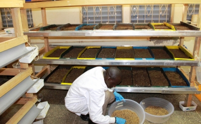 Farmers in Kenya rear insects on waste for animal proteins (Environment Feature)