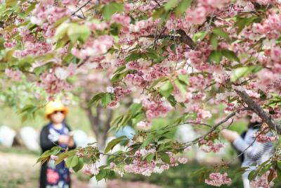 Cherry blossoms fest begins in Meghalaya