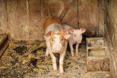 Amid Covid pandemic, African Swine Fever sets foot in Tripura from Mizoram