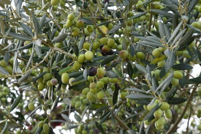 Olive oil in Mediterranean diet may help you live longer