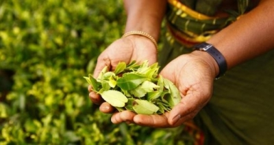 Sri Lanka conducts first-ever online tea auctions