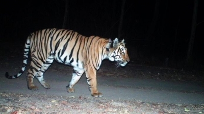 Tiger attack claims 4th victim in UP's Pilibhit reserve