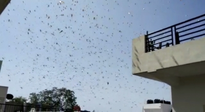 Locust control operations continue, no crop loss reported: Centre