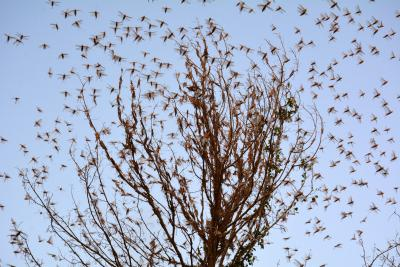 Locusts still active in various Rajasthan, UP districts
