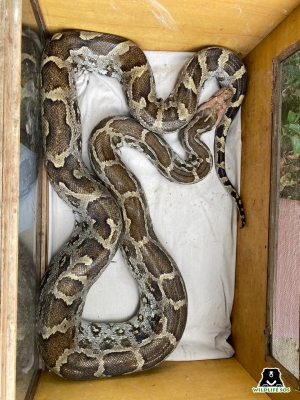 Massive python rescued from playground in Agra