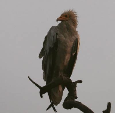 Vulture census in UP soon