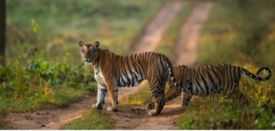 TN Forest Department draws flak for 'firing two tranquilisers' on tiger